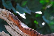 Hornotter