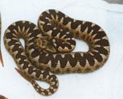 Heimische Schlange: Hornotter