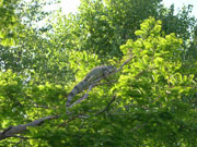 Grüner Leguan im Freilandgehege