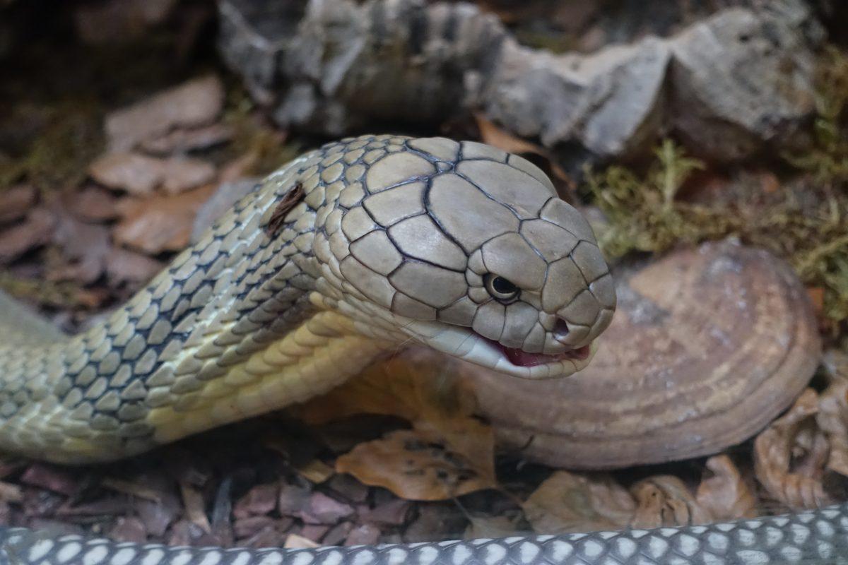 Königscobra